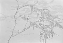 'Eucalypt', graphite on Fabriano paper, 50 x 70 cm, 2014