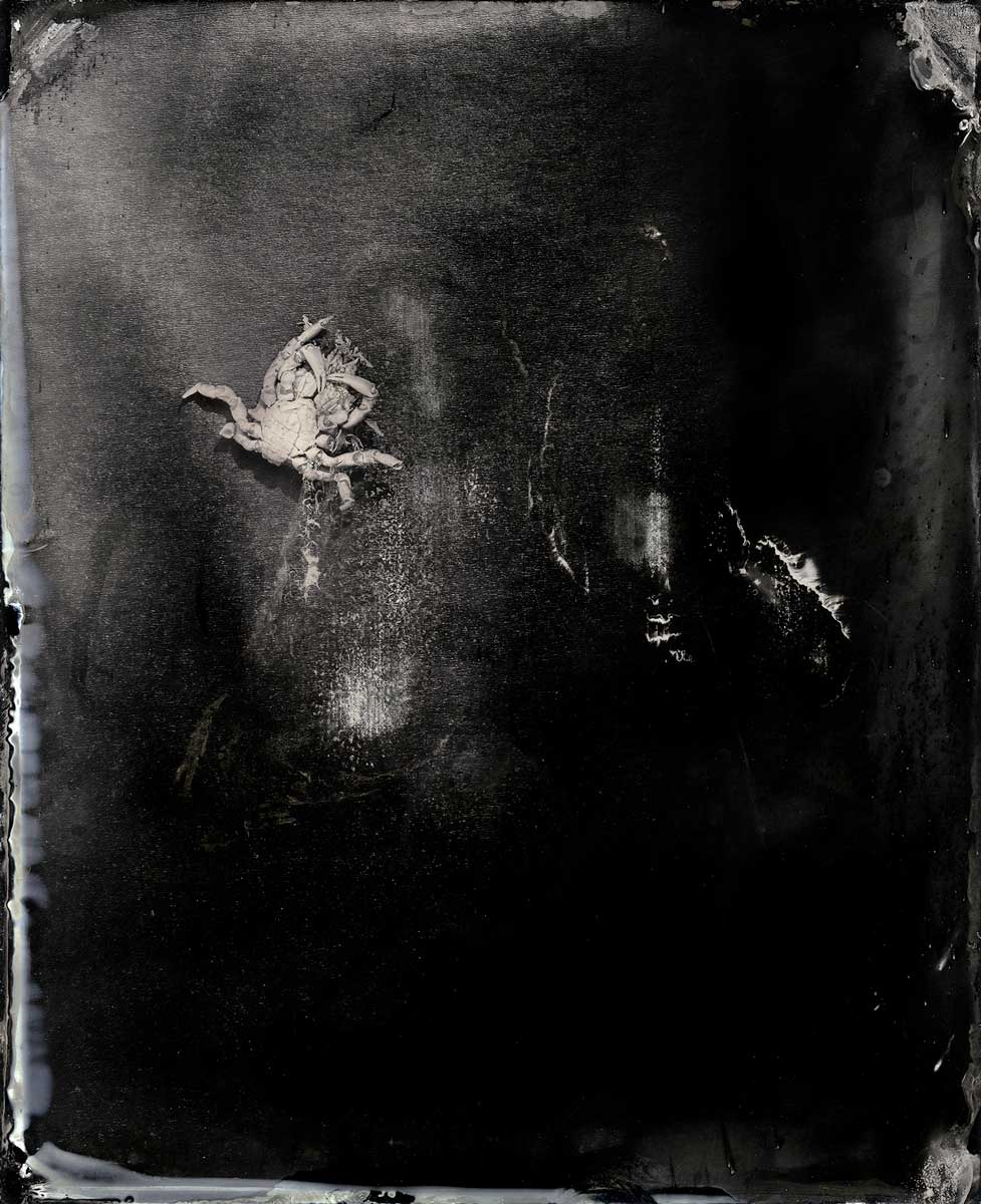 Study #5 (crab)', 2015, pigment ink on rag paper, 145 x 115 cm