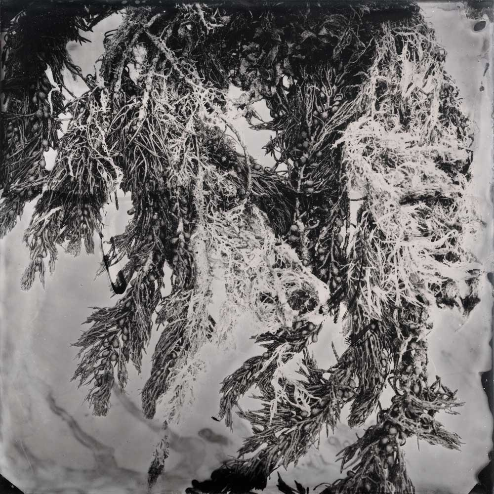 'Sorrento #2 (kelp with baubles)', Resin and unique collodion positive on perspex, 30 x 30 cm