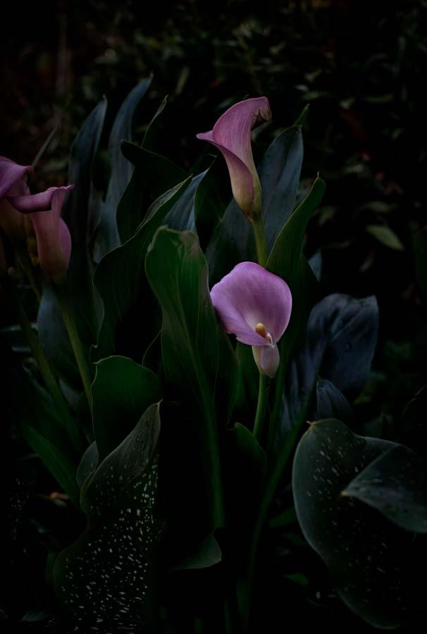 Flores Venereae #2