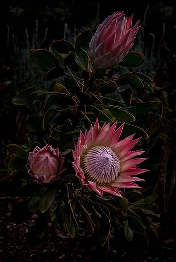Flores Venereae #3
