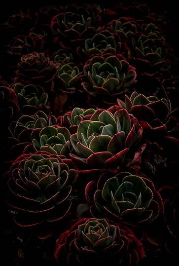 Flores Venereae #5